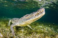 American crocodile, Crocodilus acutus, exhaling bubbles before surfacing for another breath. Banco Chinchorro Atoll, Quintana Roo, Mexico, Caribbean Sea, Atlantic Ocean