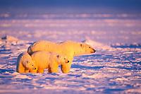 polar bear, Ursus maritimus, mother & cubs, Arctic National Wildlife Refuge, Alaska North Slope, Alaska, USA