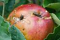 Flies feeding on areas of brown rot on Apple 'Pickering's Seedling'.