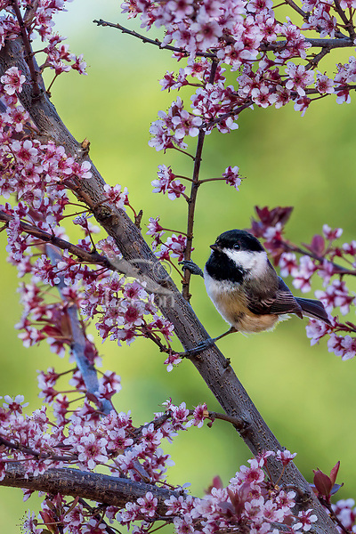Black-capped Chickadee in flowering plum tree.  Pacific NW. April.