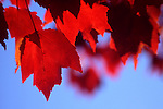 Red maple leaves against clear blue sky.  Gasworks Park, Seattle, Washington