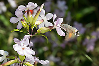 Taubenschwänzchen, im Schwirrflug vor Blüte von Seifenkraut, Nektarsuche, Blütenbesuch, Bestäubung, Saugrüssel, Taubenschwanz, Karpfenschwanz, Macroglossum stellatarum, Wanderfalter, Kolibrischwärmer, Kolibri-Schwärmer, Schwärmer, Sphingidae, Hummingbird Hawk-moth, Hummingbird Hawkmoth, Humming-bird Hawk-moth, Hummingmoth, Le Moro sphinx, Sphinx colibri, Sphinx du caille-lait, Sphingidae, sphinx moth, sphinx moths, hawkmoths, hawk moths