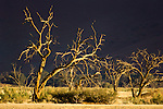 Dead Camelthorn Acacia trees (Acacia erioloba) at Sossusvlei, Namib Desert, Namibia.