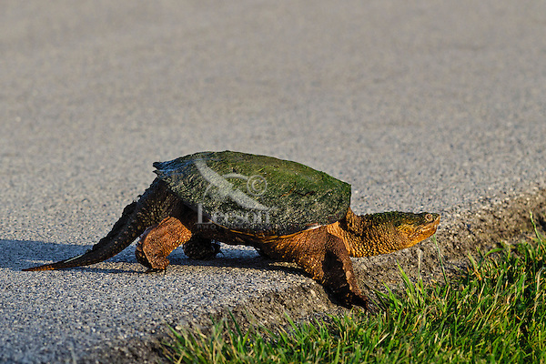 Common Snapping Turtle (Chelydra serpentina) crossing road, spring, Great Lakes region, North America.