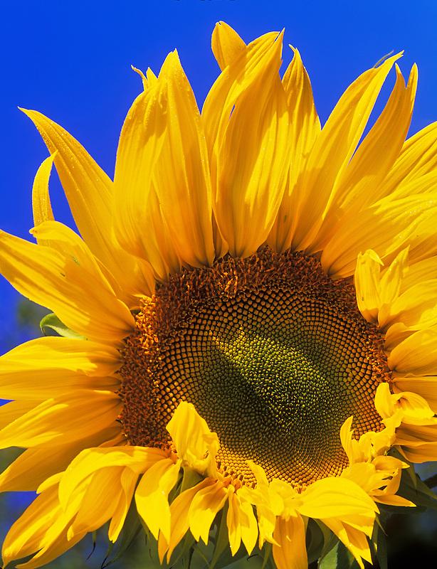 Sunflower and blue sky. Near Alpine, Oregon