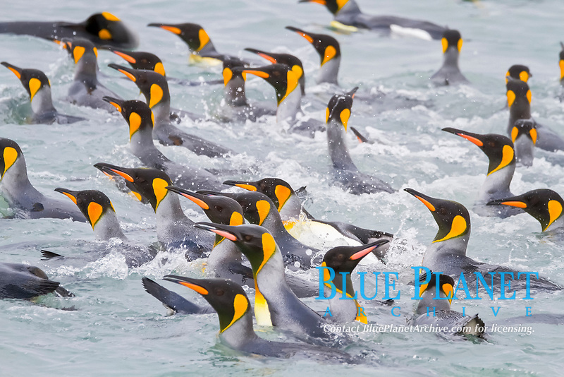 king penguin, Aptenodytes patagonicus, swimming near the beach at breeding and nesting colony at Salisbury Plains in the Bay of Isles, South Georgia, South Atlantic Ocean