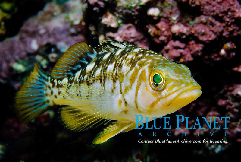 Kelp bass, Paralabrax clathratus, Anacapa Island, Channel Islands, California, USA, Pacific Ocean