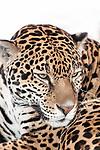 jaguar sitting on large boulder, close-up of face looking right, vertical