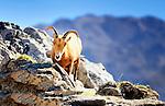 Big horn sheep near Palm Desert, California