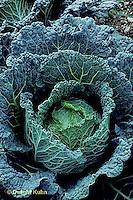 HS37-020d  Cabbage - Savoy variety