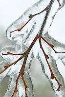 Branches with freezing rain. Near Monroe, Oregon