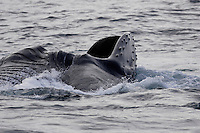 Megaptera novaeangliae Humpback whale showing Baleen and expanded throat pleats lunge feeding on Capelin and krill near Spitzbergen Arctic Norway