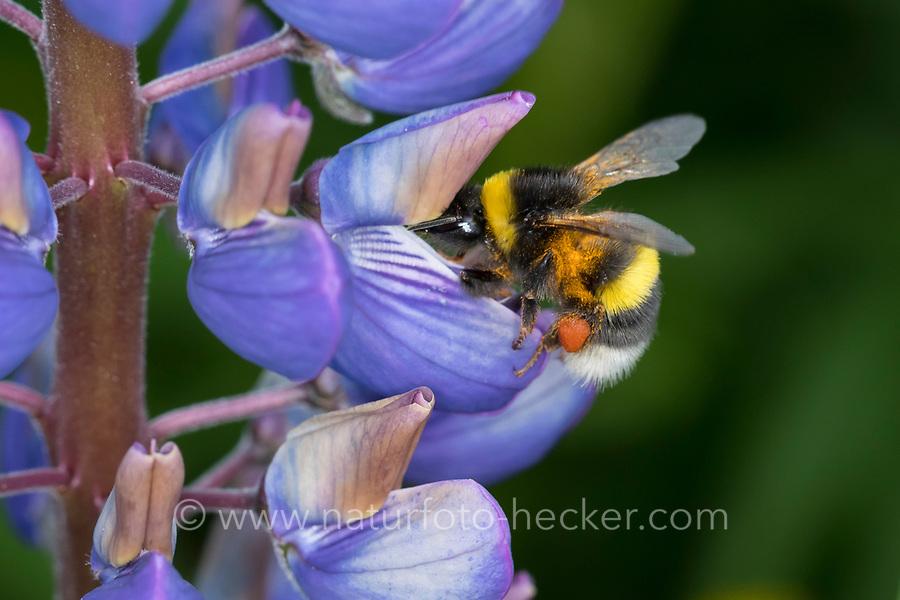 Erdhummel, Erd-Hummel, Weibchen, Blütenbesuch an Lupine, mit Pollenhöschen, Bombus spec., Bombus, bumble bee