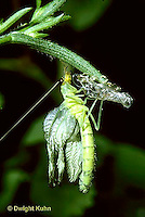1L39-009z  Green Lacewing adult just emerging from skin, inflating wings -  Chrysopa spp.