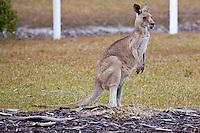 Eastern Grey Kangaroo, Yamba, NSW, Australia