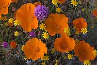 California Poppy (Eschsholtzia californica) Goldfields (Lasthenia californica) and Owl's Clover (Castilleja exserta)  in Antelope Valley California.