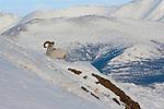 Dall sheep ram, Yukon, Canada