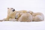 A polar bear huddles with her two cubs as they wait for the sea ice to form in Wapusk National Park, Manitoba, Canada.