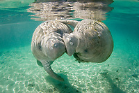 Florida manatee, Trichechus manatus latirostris, a subspecies of West Indian manatee, Trichechus manatus, a pair of manatees frolicking and cavorting near the Three Sisters Springs. Crystal River, Florida, USA