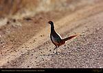 White-winged Pheasant, Bosque del Apache Wildlife Refuge, New Mexico