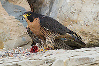 The Peregrine is renowned for its speed, reaching over 200 mph during its characteristic hunting stoop (high speed dive), making it the fastest member of the animal kingdom. According to National Geographic, the highest measured speed of a Peregrine Falcon is 242 mph. This falcon has an injured wing is a captive in the Buffalo Bill Center of the West educational program.