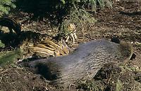 Wildschwein, Wild-Schwein, Schwarzwild, Schwarz-Wild, Bache, Weibchen säugt Frischlinge, Junge, Frischling,Schwein, Sus scrofa, wild boar, pig