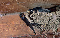 Barn Swallow, Hirundo rustica, adult feeding young in nest in Barn, Oberaegeri, Switzerland, Europe
