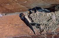 Barn Swallow, Hirundo rustica, adult feeding young in nest in Barn, Oberaegeri, Switzerland, Europe