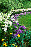 """Primula Obconica """"Juno Blue"""" and daffodils, and Easter Lilies, Calaway Gardens, Georgia"""