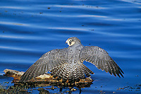 Peregrine Falcon (Falco peregrinus) dries feathers after bathing along edge of pond.  Western U.S.