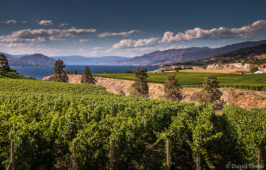 Landscape Scenic Photograph, summer scene of the rows of vineyards situated by beautiful Okanagan Lake in British Columbia Canada.