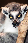 ring-tailed lemur sitting in tree close-up, vertical