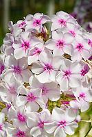 Phlox paniculata 'Nora Leigh' flowers, variegated foliage plant