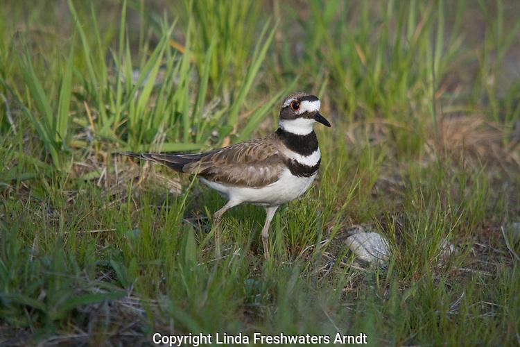 Killdeer (Charadrius vociferus) standing in the grass