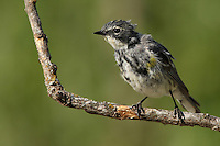 The Yellow-rumped Warbler is slightly less than attractive at this stage ;)