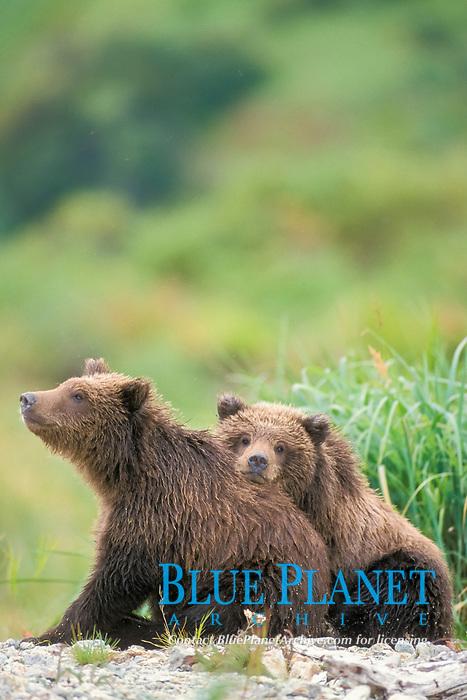 brown bear, Ursus arctos, grizzly bear, Ursus horribilis, cubs along east coast of Katmai National Park on the Alaskan peninsula, USA