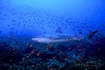 Galapagos Shark,Carcharhinus galapagensis