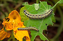 Large / Cabbage White butterfly caterpillars {Pieris brassicae} eating a nasturtium plant in a garden. Derbyshire, UK. September.