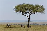 Tanzania. Serengeti. Zebra Browsing under a Balanites Aegyptiaca, Desert Date Tree, or Thron Tree, or Soap Berry Tree.