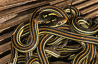 Gulf Coast Ribbon Snake, Thamnophis proximus orarius, clutch of newborn young, Willacy County, Rio Grande Valley, Texas, USA, May 2004