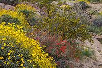 Larrea tridentata, Creosote Bush, drought tolerant shrub, California native plant flowering in Sonoran Desert at Anza Borrego California State Park with red flowering Beloperone californica or Justicia californica - Chuparosa and Encelia farinosa, Brittlebush (foreground)