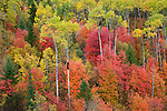 Fall color is abundant in Caribou-Targhee National Forest, Idaho.