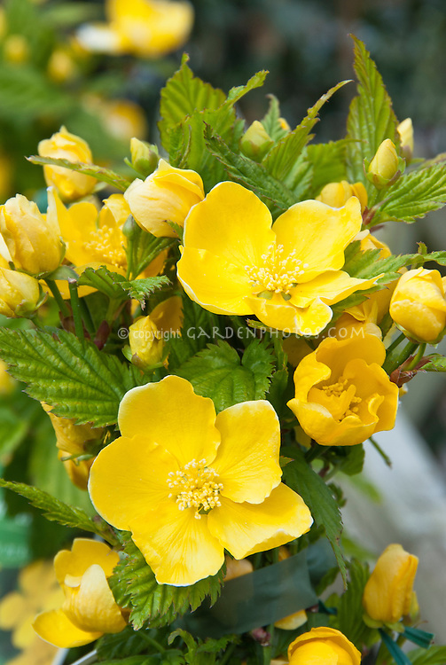Kerria japonica Golden Guinea single yellow flowers