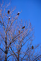 Mature Adult and Immature Young Bald Eagles (Haliaeetus leucocephalus) perched on Tree Branches