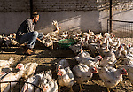 13 September, 2013, Ahmedabad, Gujarat INDIA :  A Muslim man , Mohammad Sohail, 26, at work collecting chickens to send for sale in Juhapura.  Juhapura was a small suburb with a small population until the mid 80s, but after the communal riots of Gujarat from 1985 until 2002, a large number of the Muslims migrated to Juhapura from the Muslim and Hindu-dominated areas of Ahmedabad.  Chief Minister of Gujarat , Narendra Modi has been announced as the Prime Ministerial candidate for the opposition BJP party in the Indian general elections slated for 2014.   Mr.Modi has been a controversial figure since his involvement in the 2002 Gujarat riots where a train full of Hindu pilgrims was attacked by Muslims returning from a disputed temple site in Ayodhya.  In retaliation some estimate up to 2000 Muslims lost their lives in communal violence.   Mr. Modi is alleged to have condoned the violence despite being cleared of any allegations by a Special Investigation Team (SIT) appointed by the Supreme Court of India. Picture by Graham Crouch/New York Times