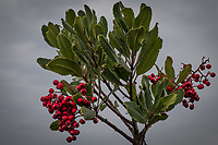 Red and green, berries and leaves, along the path at the MLK shoreline against a soft, overcast sky.  Winter in the San Francisco Bay area.