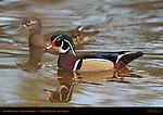 Wood Duck Male, Mandarin Female, Franklin Canyon, Southern California