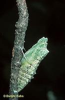 LE32-001a  Butterfly - Eastern Black Swallowtail chrysalis - Papilio polyxenes