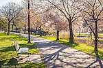Cherry blossoms filter the spring sunlight on the Charles River Esplanade, Boston, MA, USA