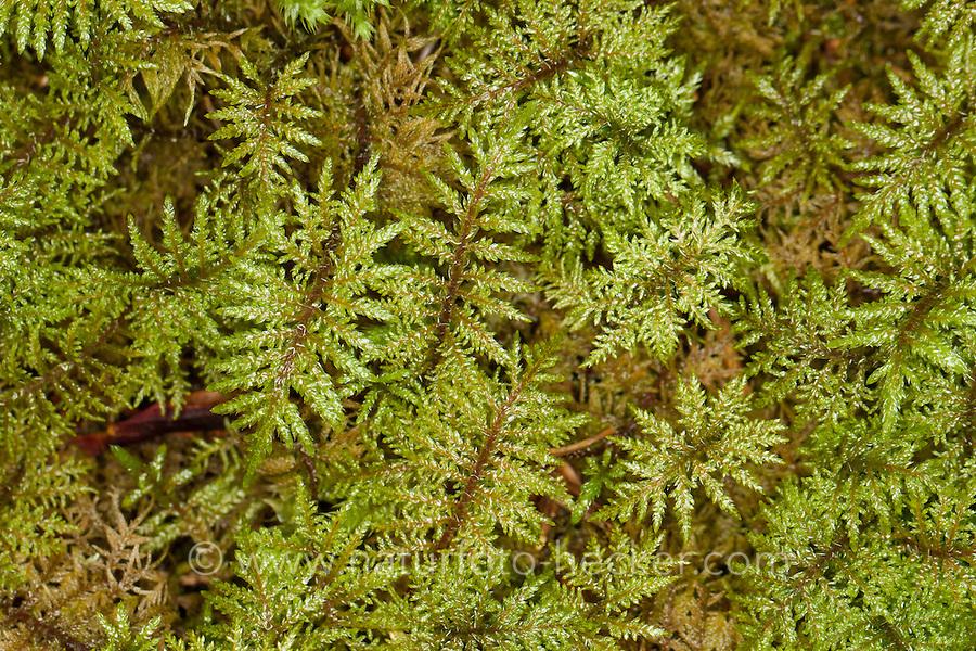 Etagenmoos, Etagen-Moos, Stockwerkmoos, Stockwerk-Moos, Hylocomium splendens, syn. Hylocomium proliferum, Glittering Wood-moss, Stair-step Moss, Stair Step Moss, step-moss, Mountain Fern Moss, Fern-Moss, splendid feather moss